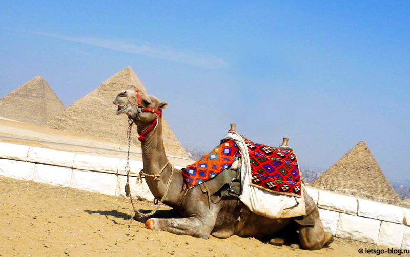 Верблюды в Гизе