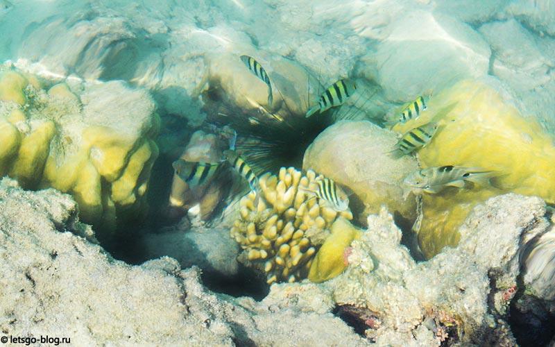 морской еж в Красном море Хургады