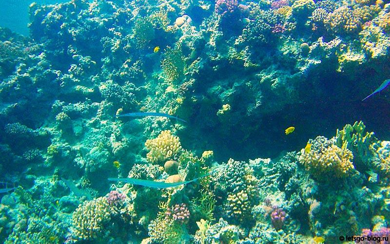 Рыба-флейта. Коралловый риф в Красном море, Хургада