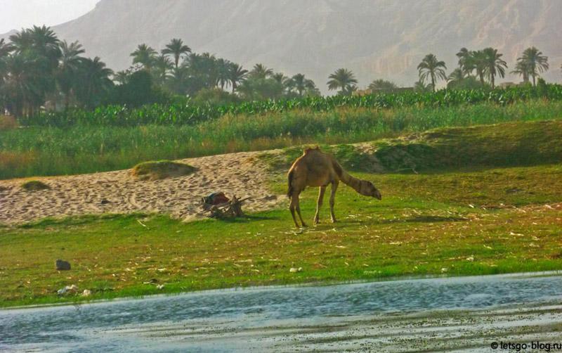 Прогулка по Нилу. Луксор. Пасущийся верблюд