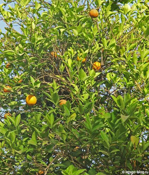 Луксор. Банановый остров. Апельсиновое дерево