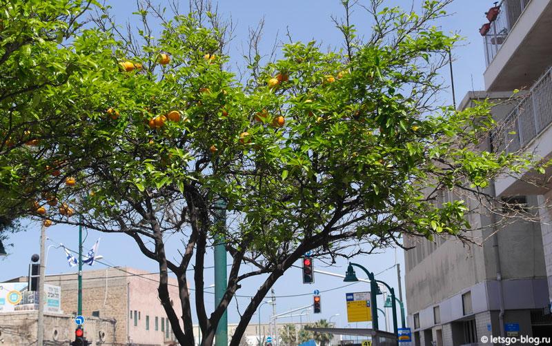 Тель-Авив, апельсиновое дерево