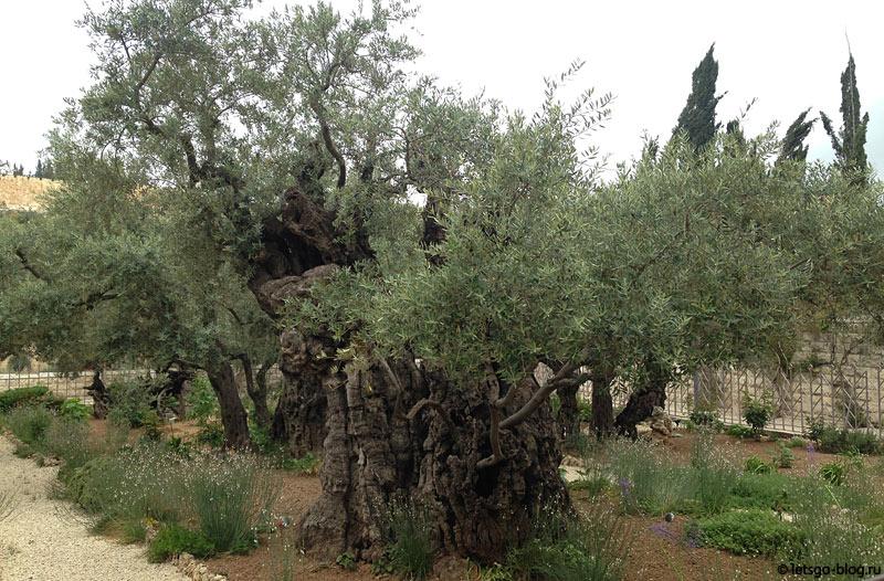 Оливковые деревья в Гефсиманском саду