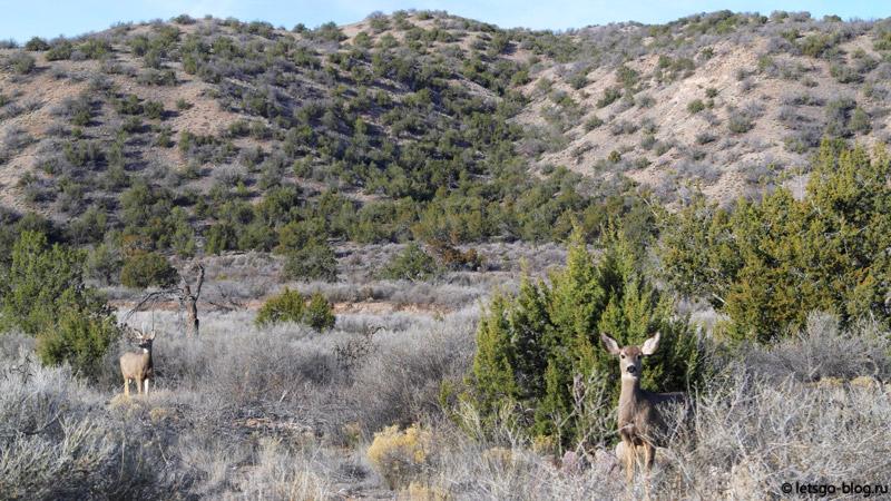 Олени в Нью-Мексико