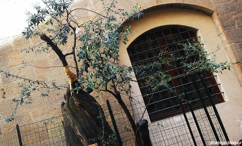 Оливковое дерево во Флоренции