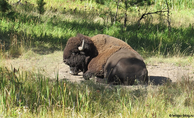 Бизон Южная Дакота